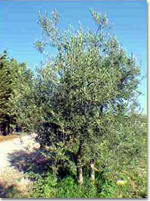 olive oil: from tree to bottle